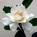 クチナシ:八重咲きクチナシ5号ポット