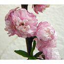 ニワザクラ(庭桜):赤(ピンク)花4.5号ポット