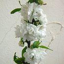 ニワザクラ(庭桜):白花4.5号ポット