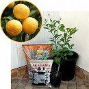 ホームフルーツの鉢栽培セット:一才柚子*