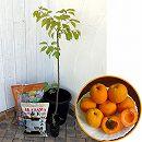ホームフルーツの鉢栽培セット:アンズ ゴールドコット*