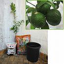 ホームフルーツの鉢栽培セット:シークワーサー(ヒラミレモン)*
