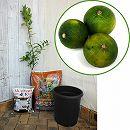 ホームフルーツの鉢栽培セット:スダチ*
