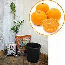 ホームフルーツの鉢栽培セット:せとか*