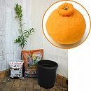 ホームフルーツの鉢栽培セット:デコポン*
