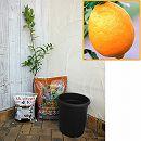ホームフルーツの鉢栽培セット:とげ無し*レモン