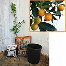 ホームフルーツの鉢栽培セット:プチマルキンカン*