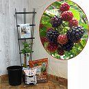 ホームフルーツの鉢栽培セット:ブラックベリー ボイソンベリー*