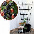 ホームフルーツの鉢栽培セット:ブラックベリー メルトントロンデス*