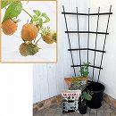 ホームフルーツの鉢栽培セット:ラズベリー ファールゴールド*