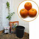 [晩生みかん 12月中〜下旬収穫 柑橘]ホームフルーツの鉢栽培セット:温州みかん 青島*