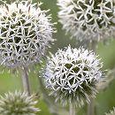 エキノプス(ルリタマアザミ):スターフロスト(白花)3.5号ポット 2株セット