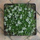 マット植物:タイム:クリーピングタイム白花のマット25cm×25cm 1枚