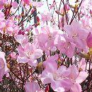 ツツジ:アカヤシオ根巻き樹高30〜40cm