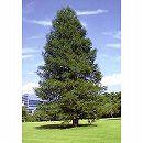 セコイア:センペルセコイア(セコイアスギ) 樹高1.2m根巻き