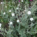 リクニス:コロナリア(スイセンノウ)白花3号ポット 2株セット