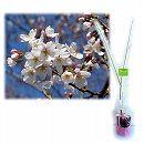 桜の苗木ギフト:染井吉野(ソメイヨシノ)・「ありがとうございました」カード付
