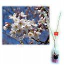 桜の苗木ギフト:染井吉野(ソメイヨシノ)・「お誕生日おめでとう」カード付
