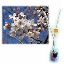 桜の苗木ギフト:染井吉野(ソメイヨシノ)・「特別なあなたへ」カード付