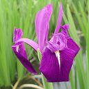 [17年3月中旬予約]水生植物:カキツバタ(杜若):袖の香3号ポット