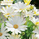 [17年3月中旬予約]オステオスペルマム:キララKiraraホワイト3.5号ポット