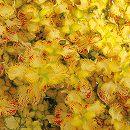 [17年5月中旬予約]栄養系コリウス:葉っぱのコリン ブギウギ7.5cmポット