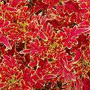 [17年5月中旬予約]栄養系コリウス:葉っぱのコリン バーニングレッド7.5cmポット
