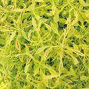 [17年5月中旬予約]栄養系コリウス:葉っぱのコリン シャキシャキライム7.5cmポット