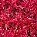 [17年5月中旬予約]栄養系コリウス:葉っぱのコリン マーズレッド7.5cmポット