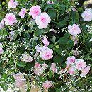 [17年4月中旬予約]スパークリングフィエスタ:アップルブロッサムとグリッツ2種植え3.5号ポット