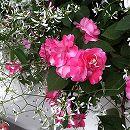 [17年4月中旬予約]スパークリングフィエスタ:スパークラーローズとグリッツ2種植え3.5号ポット