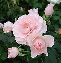 [17年5月中旬予約]四季咲中輪バラ:しののめ新苗