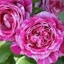 [17年5月中旬予約]つるバラ:フランボワーズ バニーユ新苗