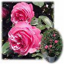 [バラ行燈予約]つるバラ:レオナルド ダ ビンチ8号大型アンドン仕立て
