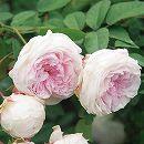 [17年5月中旬予約]つるバラ粉粧楼(ふんしょうろう)新苗