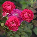 [17年5月中旬予約]イタリアローズ バルニ:セント オブ ウーマン新苗4号鉢植え