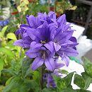 宿根カンパニュラ・りんどう咲き紫花3号ポット(ヤツシロソウ) 6株セット