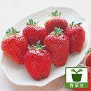 イチゴ:ジャンボイチゴまんぷく2号大苗4号ポット 3株セット