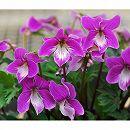 スミレ:紅花ナンザンスミレ2.5号ポット