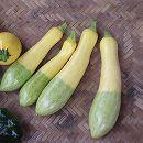 [野菜タネ]ズッキーニ:F1グリーンパンツ