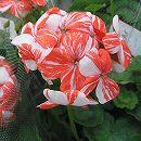 ゼラニウム:シングルニューライフ5号鉢植え