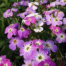 バージニアストック:花色ミックス3〜3.5号ポット 6株セット