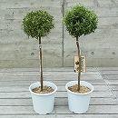 ローズマリー:スタンダード仕立て(立性)6号鉢植え2株セット