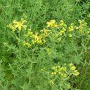 [春・秋まき 抗うつ効果のある薬草として知られるハーブのタネ]セント ジョンズ ウォートの種(セイヨウオトギリソウ)