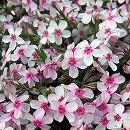 芝桜(シバザクラ) :コーラルアイ3〜3.5号ポット 2株セット