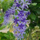 [17年5月中旬予約]ペトレア:ヴォルビリス(紫)3号ポット