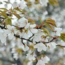 桜:山桜接木苗4〜5号ポット