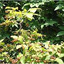ナツハゼ 株立ち樹高1.5m根巻き