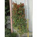 チャイニーズホーリー(ヒイラギモドキ)樹高1.5m根巻き
