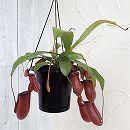 食虫植物ネペンテス:レディラック5号吊り鉢入り